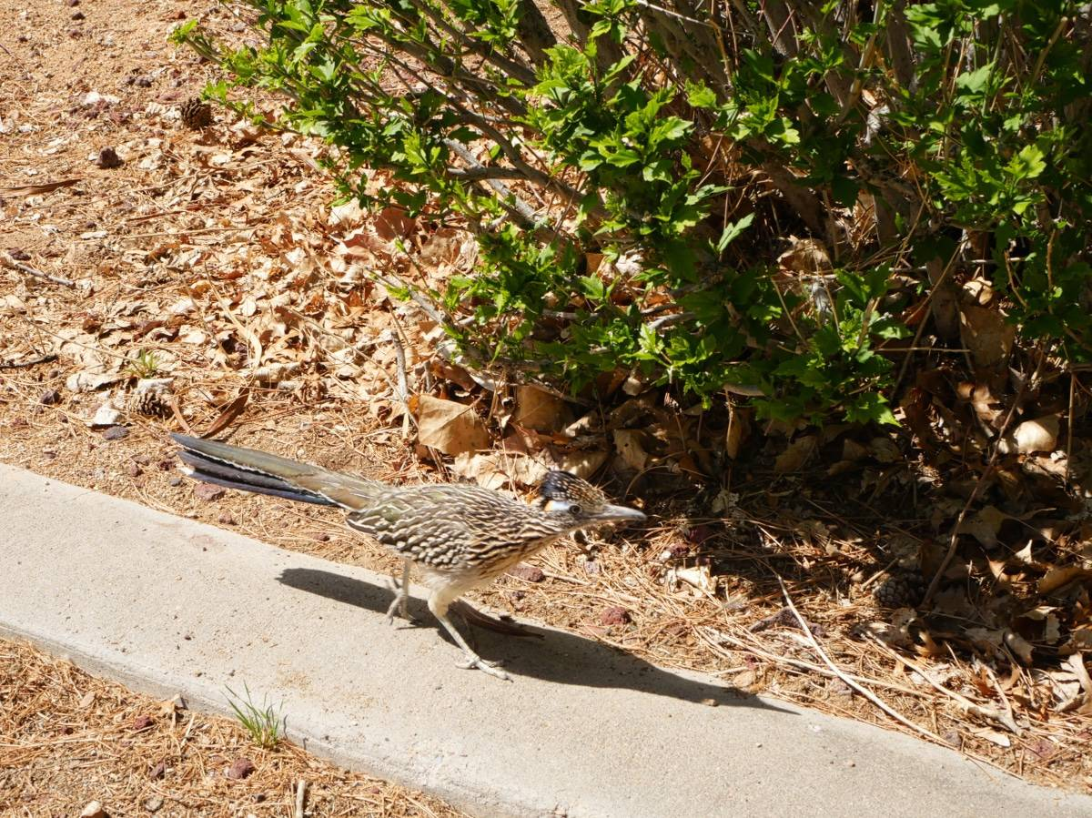 Roadrunner Running By, Albuquerque