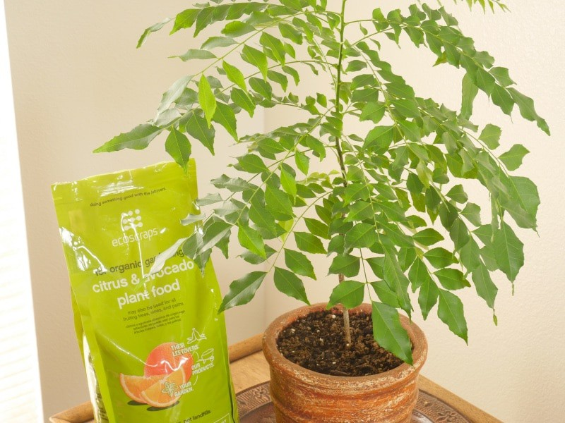 Curry Leaf Plant - A curry plant grown from a small seedling and now 3 feet high.