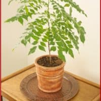 A curry plant grown from a small seedling and now 3 feet high.